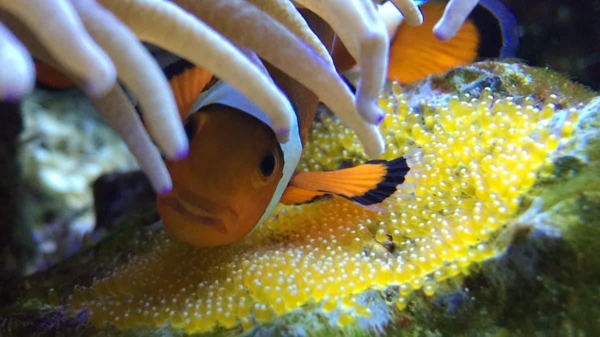 poisson clown couvant des oeufs en aquarium d'eau de mer