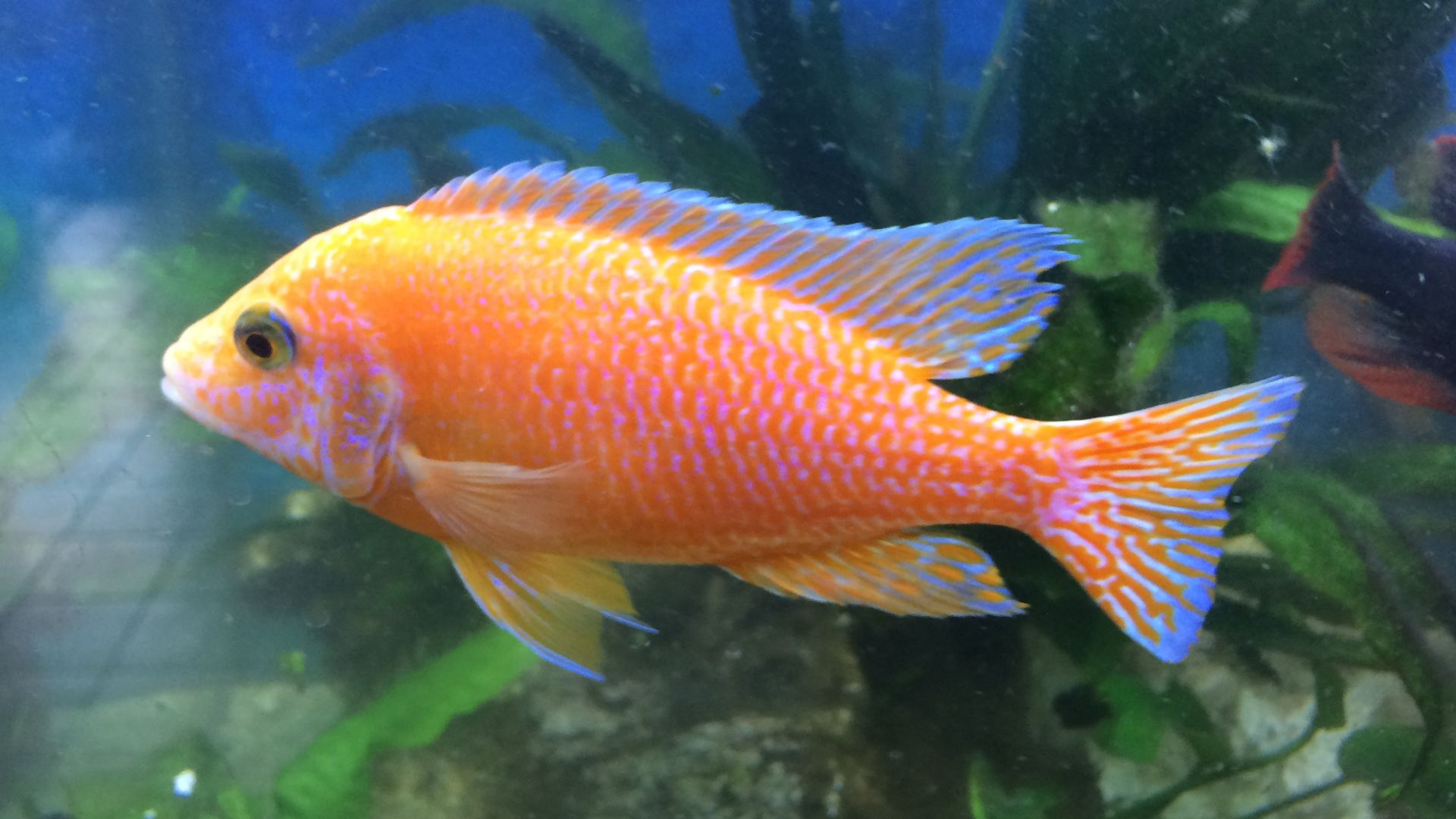 Poisson orange dans un aquarium en eau douce